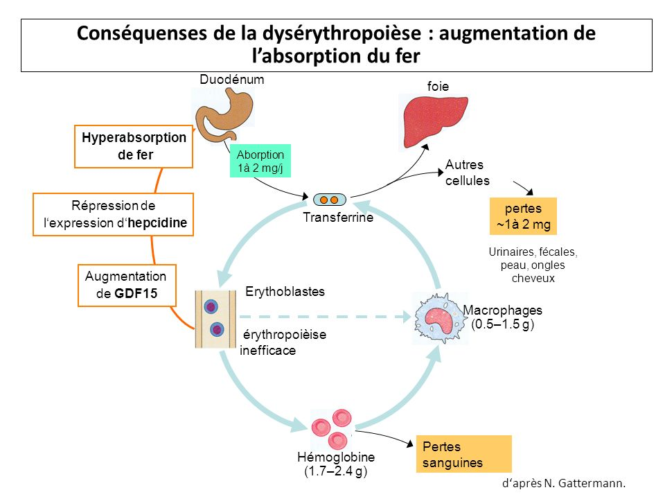 Conséquenses de la dysérythropoièse : augmentation de l'absorption du fer