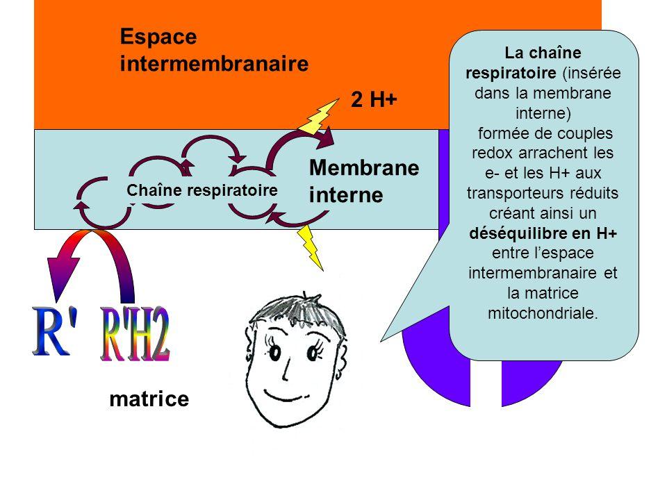 La chaîne respiratoire (insérée dans la membrane interne)
