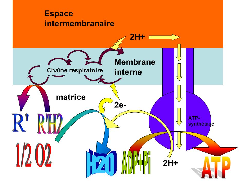 R R H2 ATP ADP+Pi 1/2 O2 H20 Espace intermembranaire 2H+