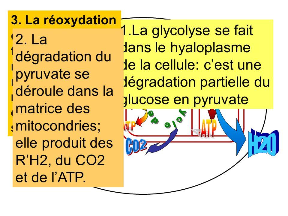 3. La réoxydation des transporteurs réduits a lieu au niveau des crêtes mitochondriales et permet la synthèse d'ATP