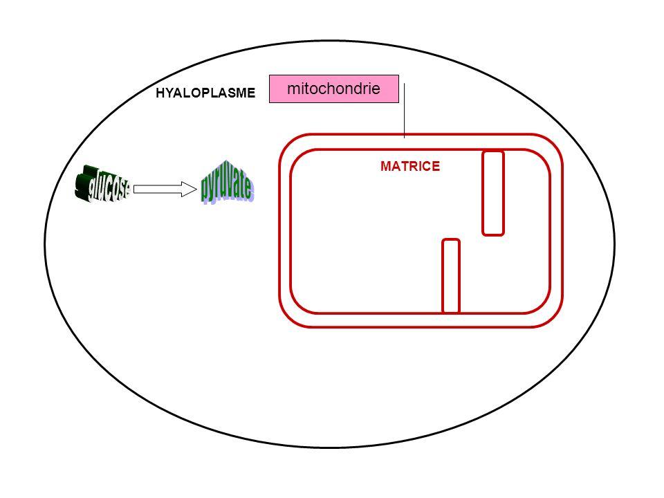 mitochondrie HYALOPLASME pyruvate MATRICE glucose