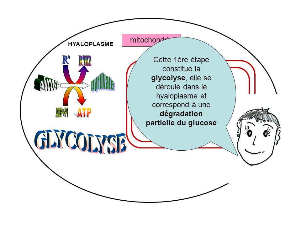 R R H2 pyruvate ATP ADP+Pi GLYCOLYSE glucose mitochondrie