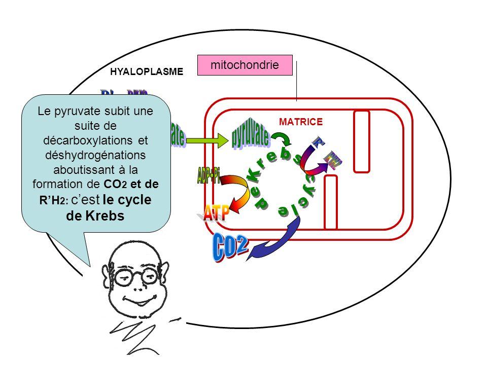 R R H2 pyruvate pyruvate ATP ADP+Pi R R H2 Krebs cycle de ATP ADP+Pi