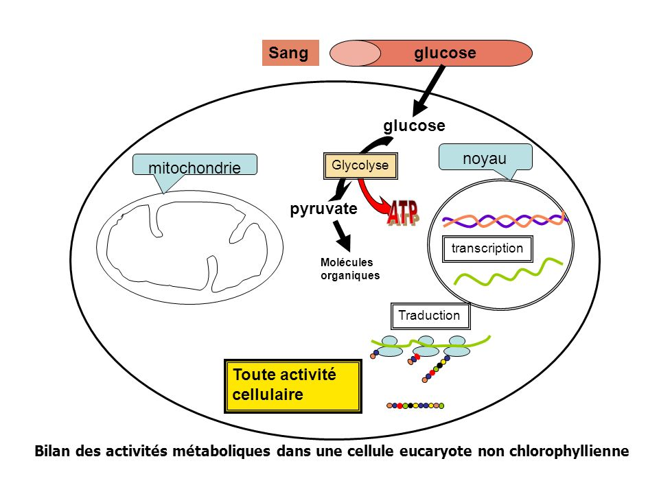 ATP Sang glucose glucose pyruvate noyau mitochondrie