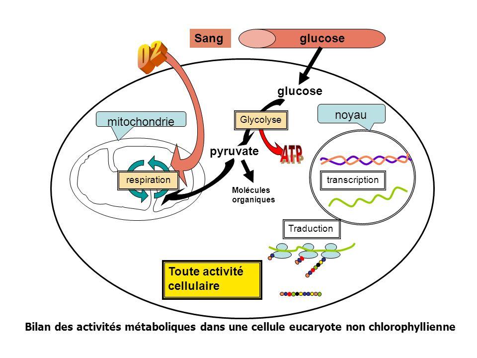 O2 ATP Sang glucose glucose pyruvate noyau mitochondrie