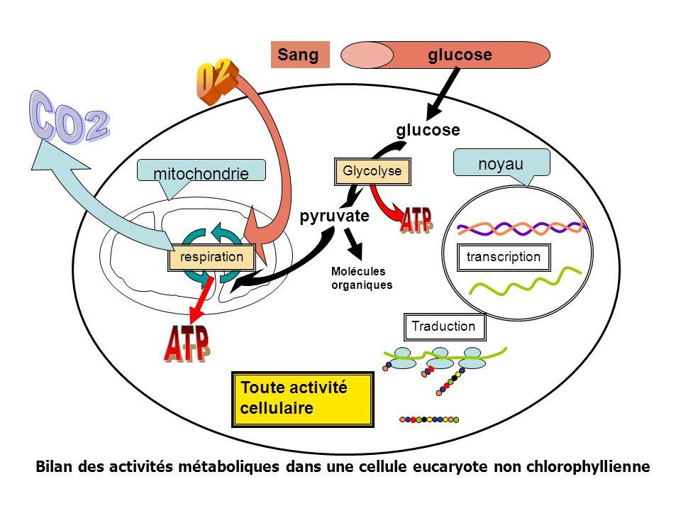 O2 CO2 ATP ATP Sang glucose glucose pyruvate noyau mitochondrie