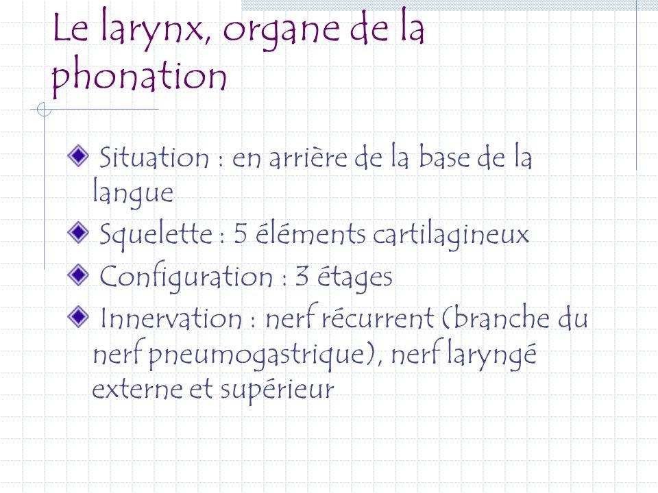 Le larynx, organe de la phonation