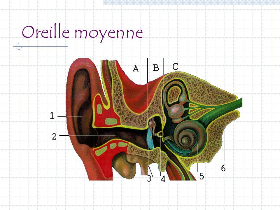 Oreille moyenne Tympan = membrane tendue comme la peau d'un tambour.