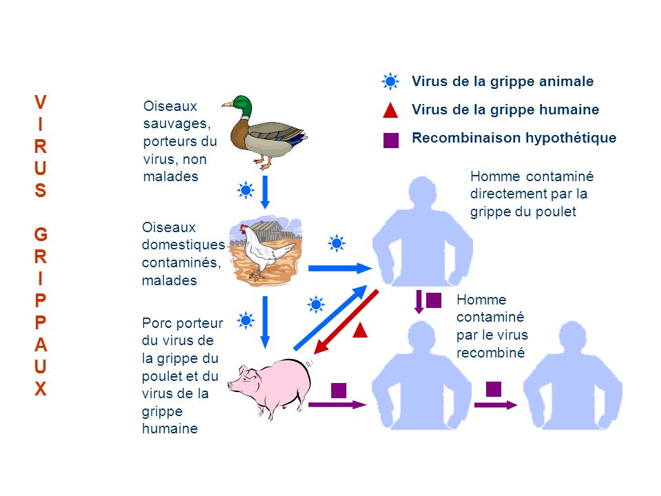 V I R U S G P A X Virus de la grippe animale