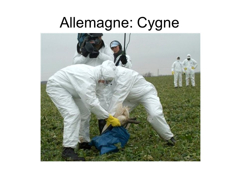 Allemagne: Cygne