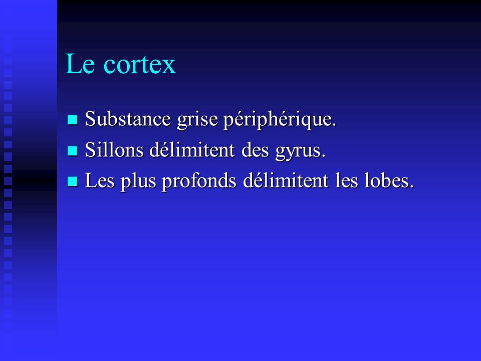 Le cortex Substance grise périphérique. Sillons délimitent des gyrus.