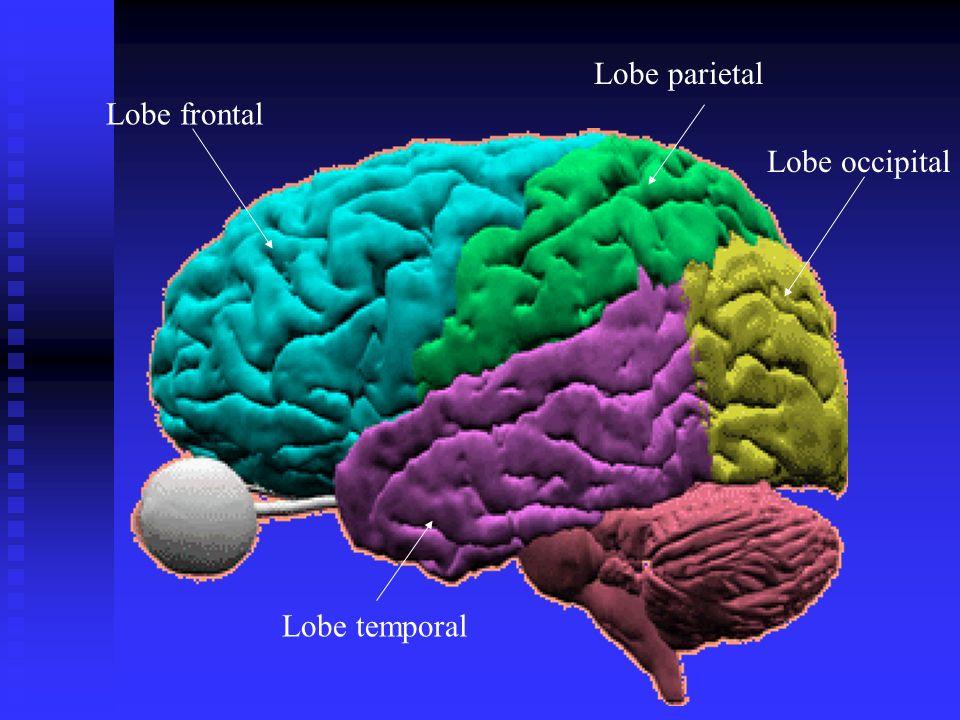 Lobe parietal Lobe frontal Lobe occipital Lobe temporal