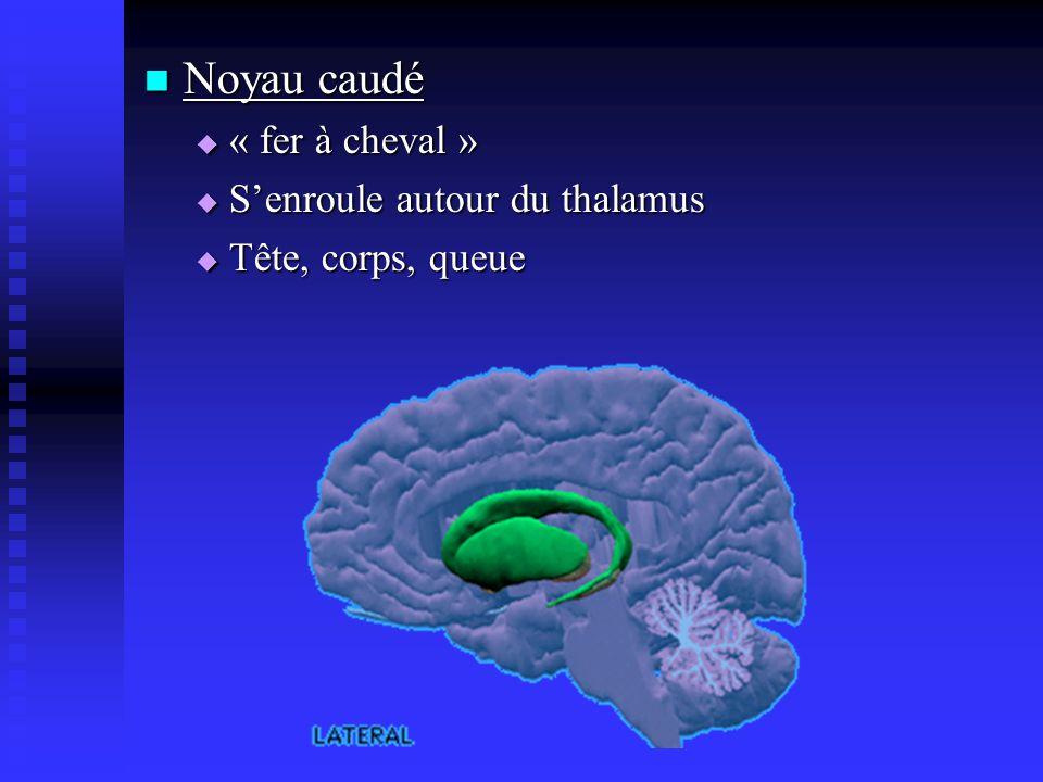 Noyau caudé « fer à cheval » S'enroule autour du thalamus