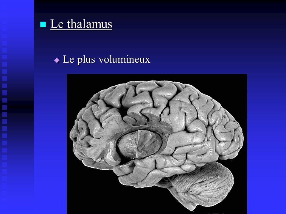 Le thalamus Le plus volumineux