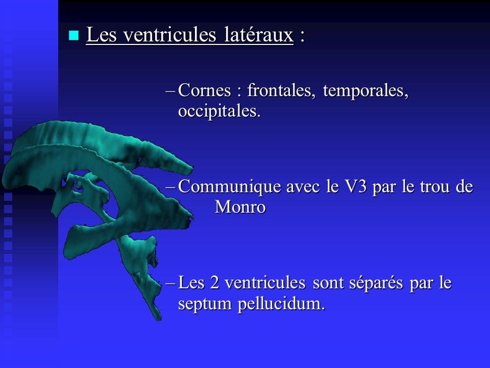Les ventricules latéraux :