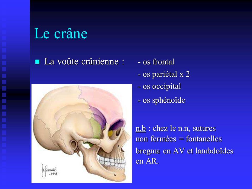 Le crâne La voûte crânienne : - os frontal
