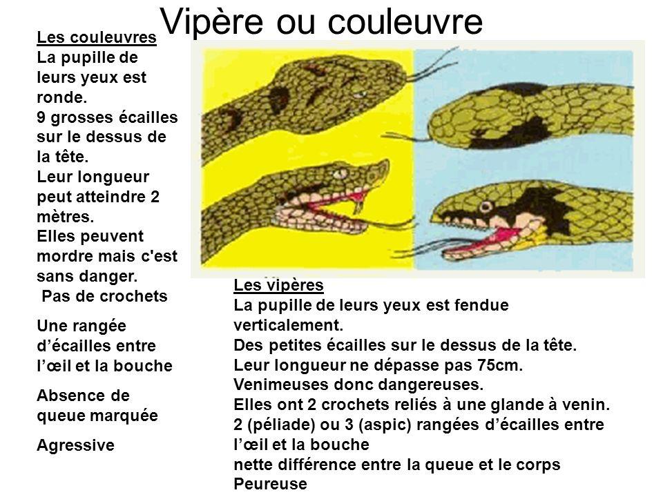 Vipère ou couleuvre