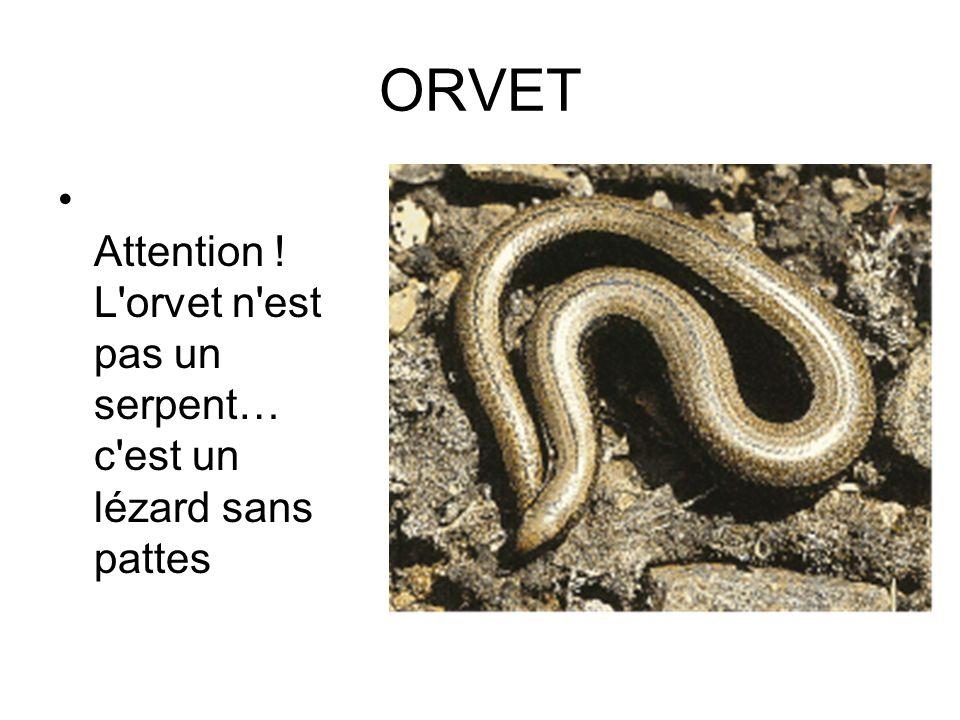 ORVET Attention ! L orvet n est pas un serpent… c est un lézard sans pattes
