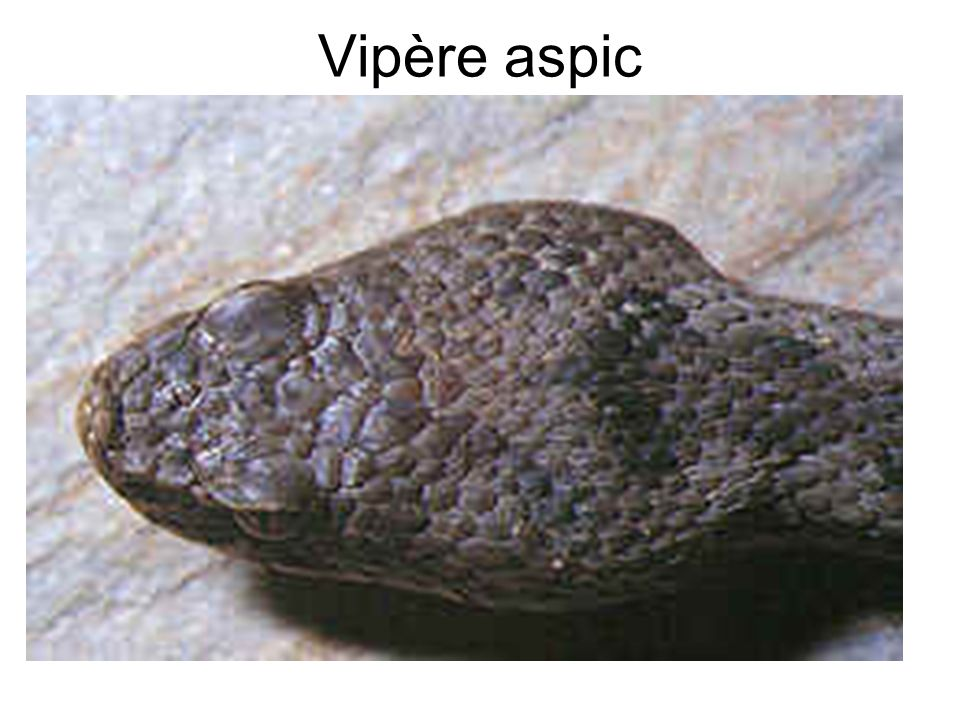 Vipère aspic