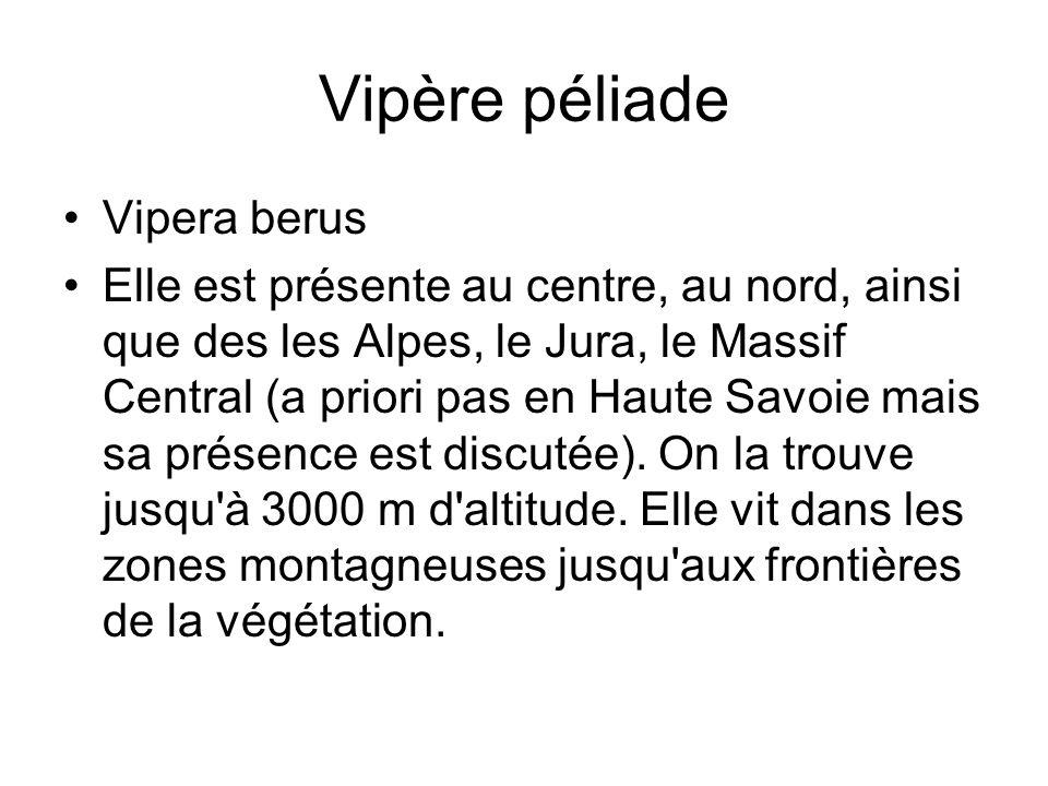 Vipère péliade Vipera berus