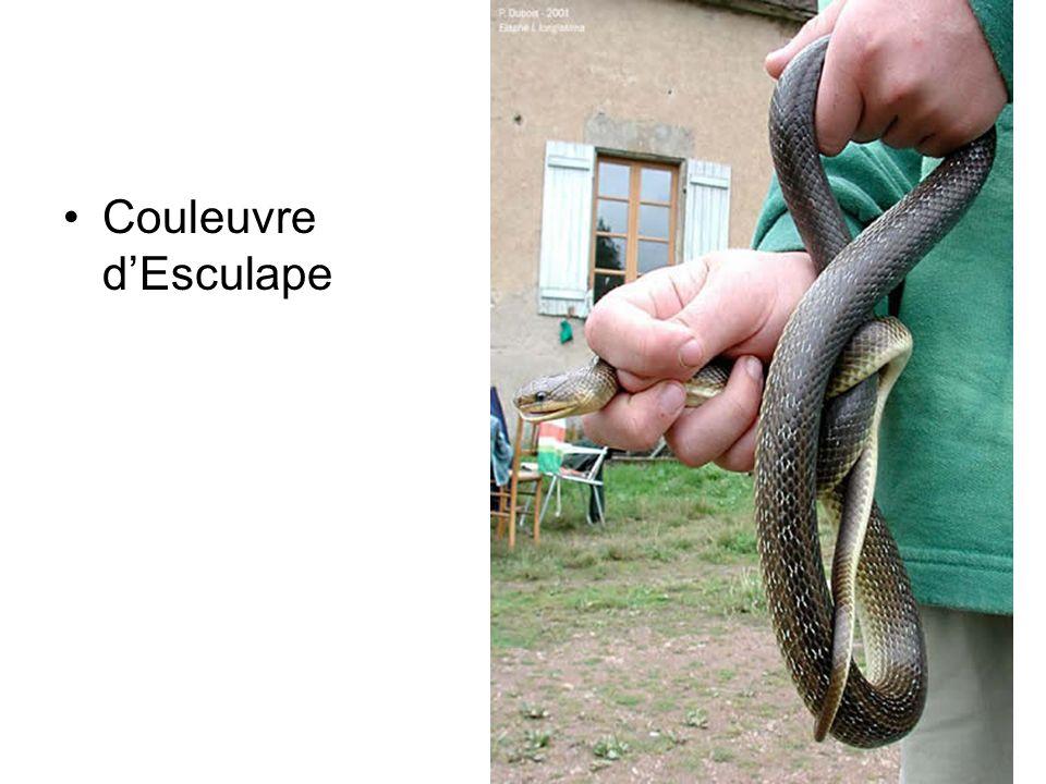 Couleuvre d'Esculape