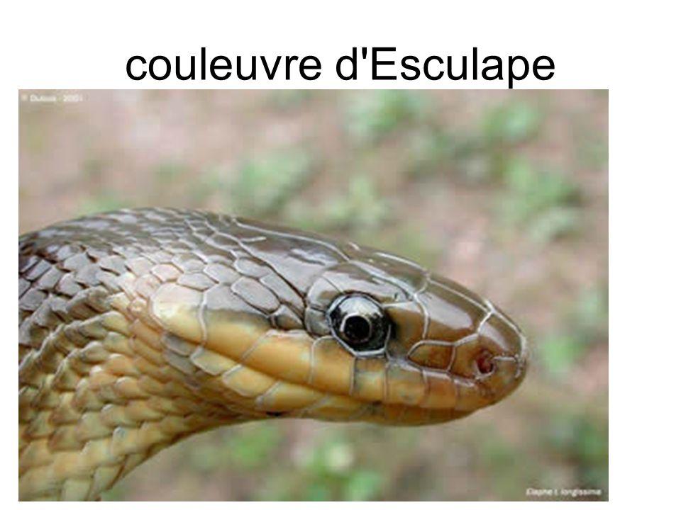 couleuvre d Esculape