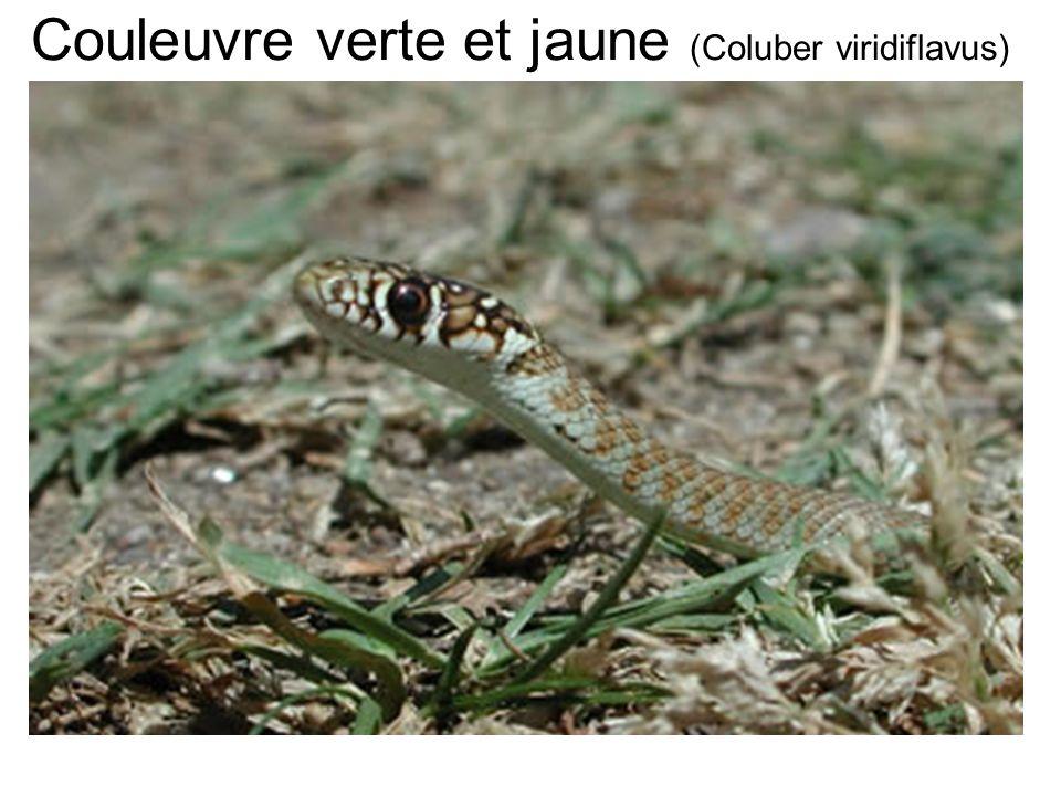 Couleuvre verte et jaune (Coluber viridiflavus)