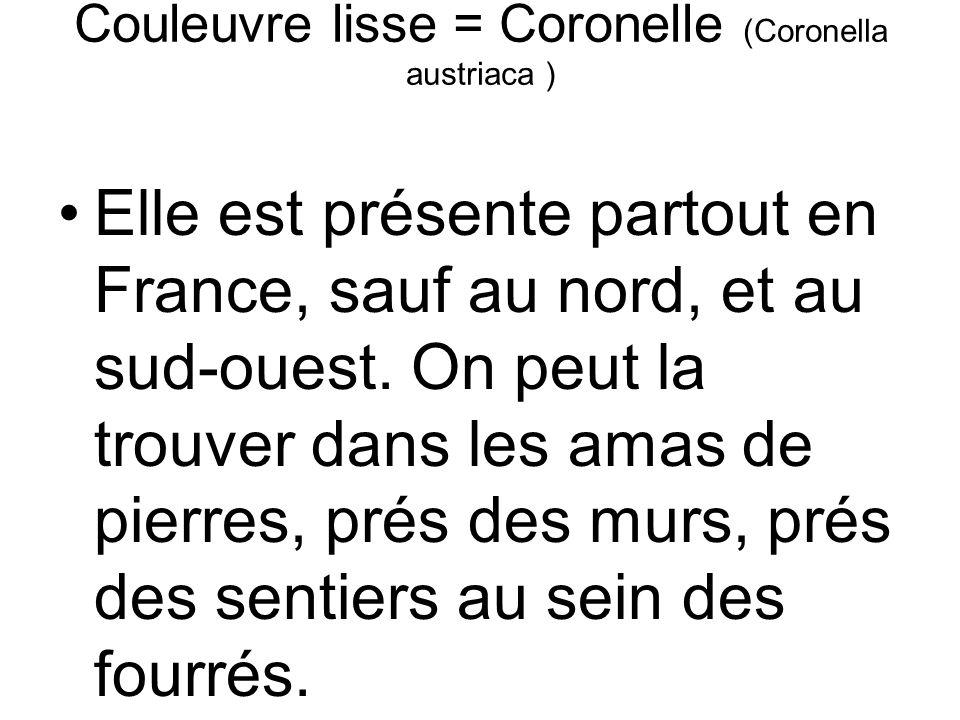 Couleuvre lisse = Coronelle (Coronella austriaca )