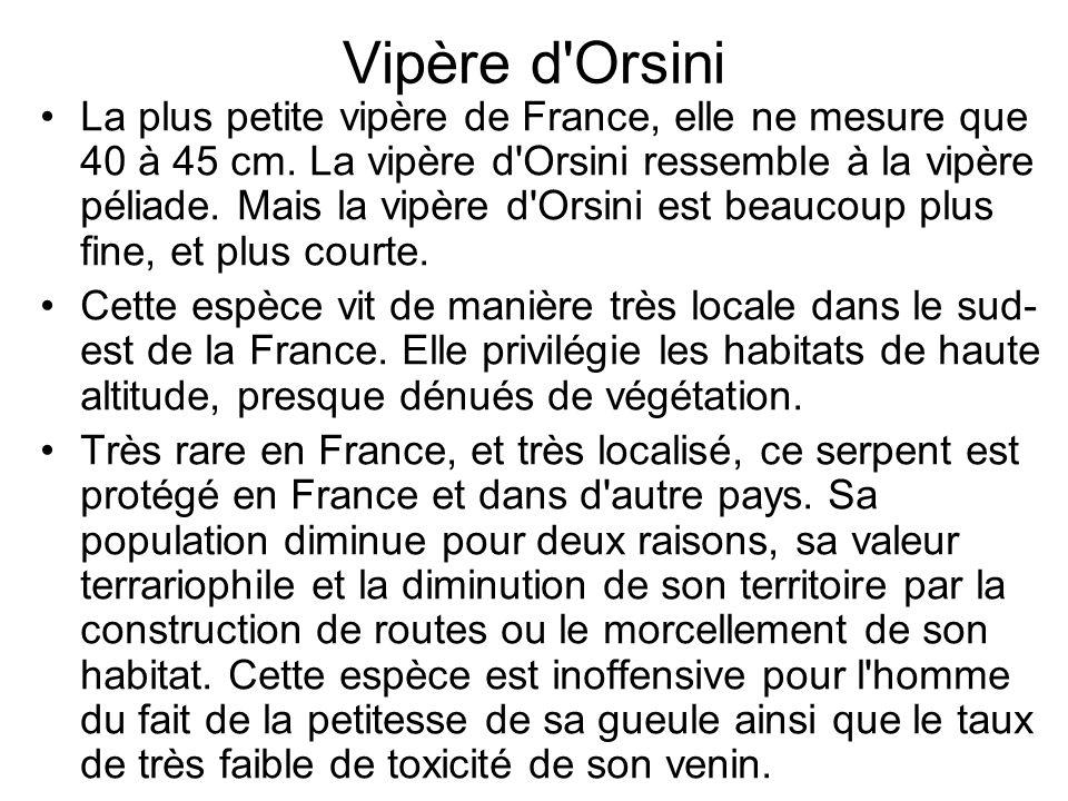 Vipère d Orsini