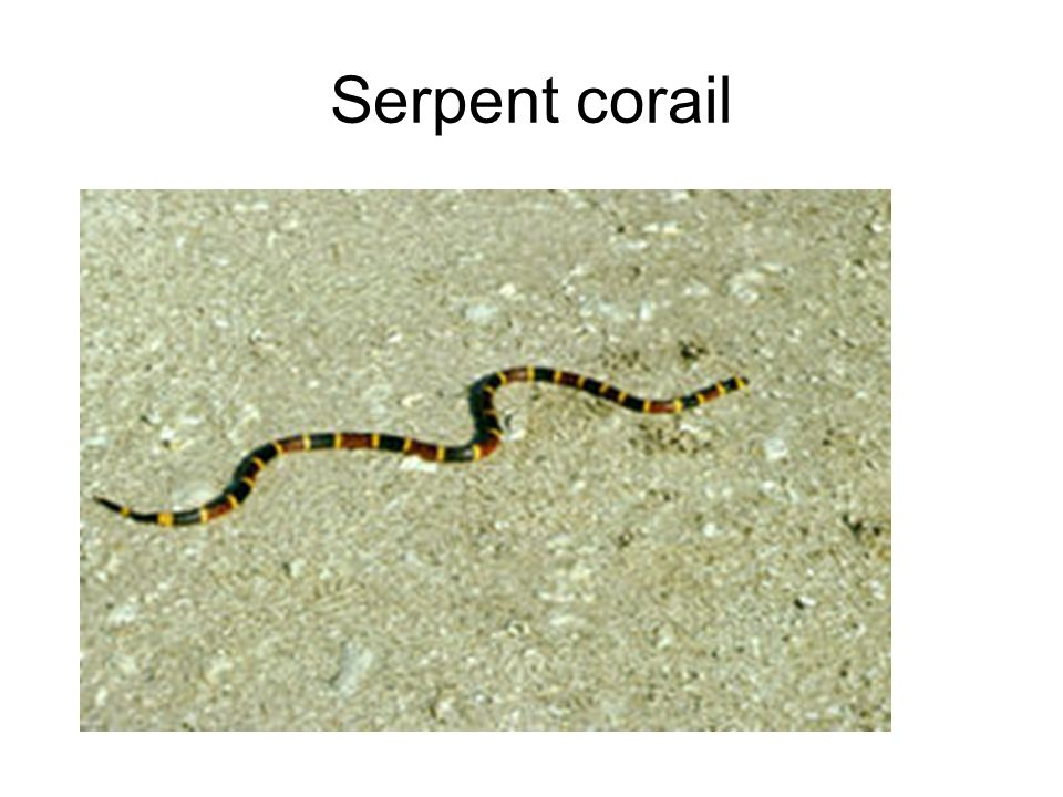 Serpent corail