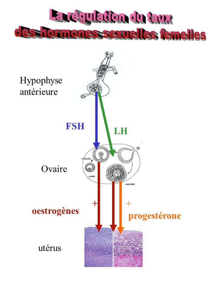 des hormones sexuelles femelles