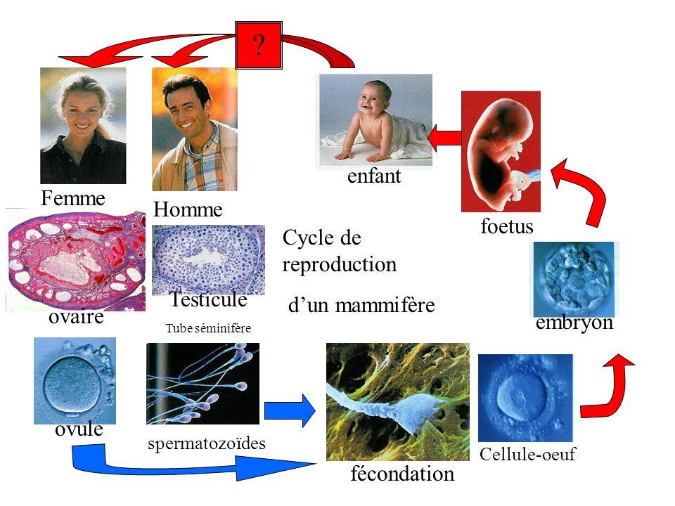 enfant Femme Homme foetus Cycle de reproduction d'un mammifère