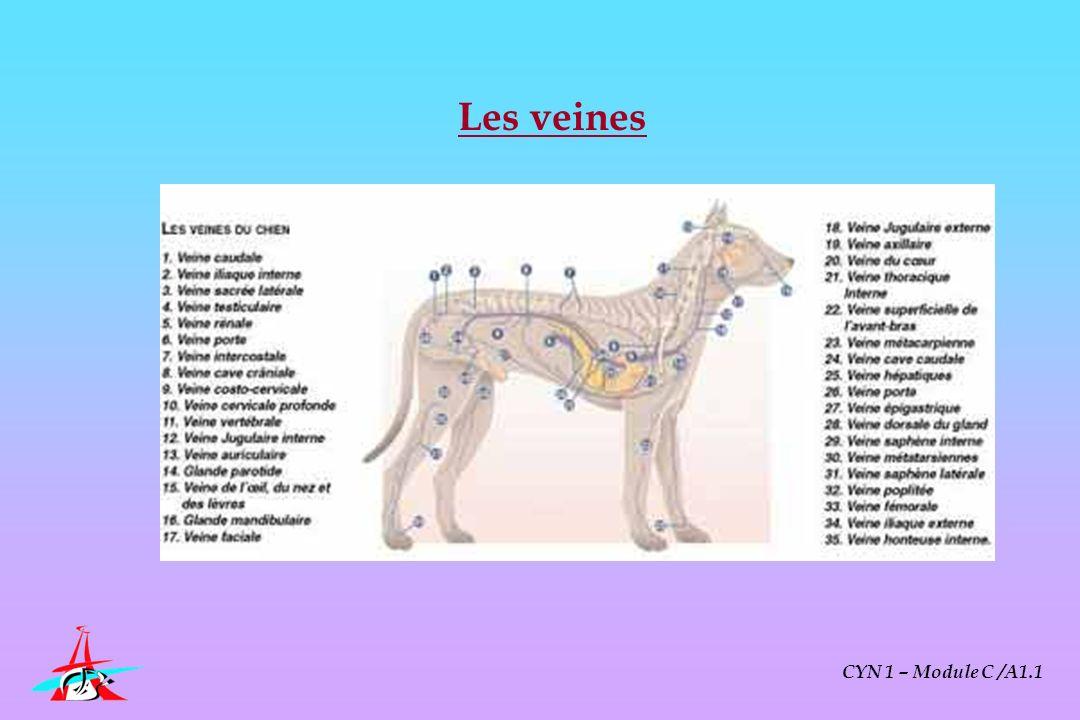 Les veines CYN 1 – Module C /A1.1