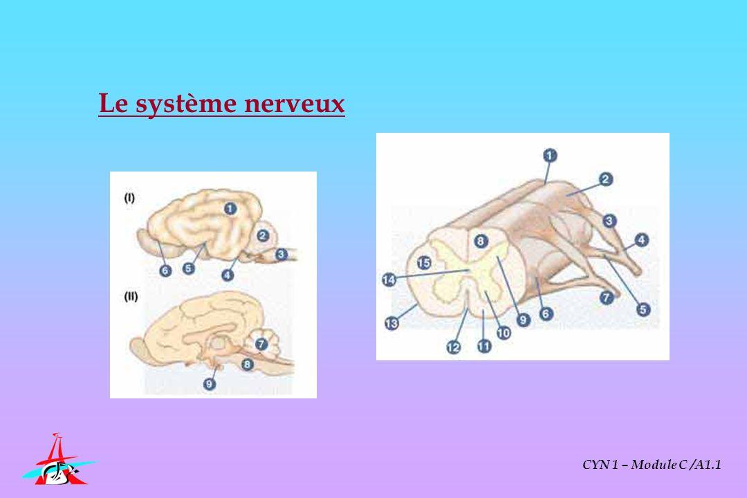 Le système nerveux CYN 1 – Module C /A1.1