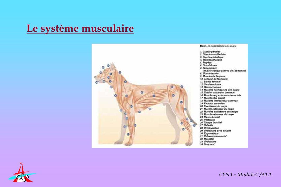 Le système musculaire CYN 1 – Module C /A1.1