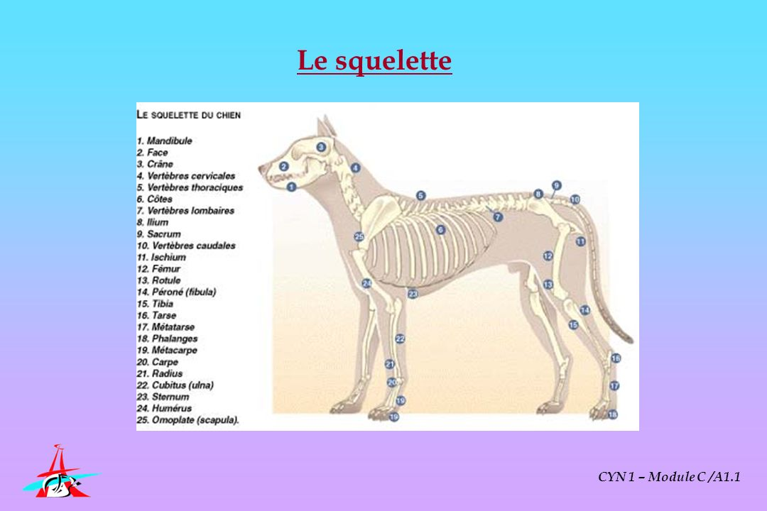 Le squelette CYN 1 – Module C /A1.1