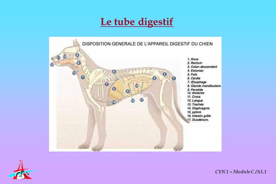 Le tube digestif CYN 1 – Module C /A1.1