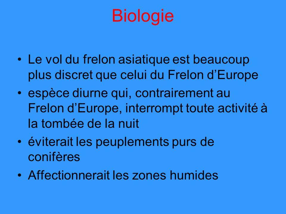 Biologie Le vol du frelon asiatique est beaucoup plus discret que celui du Frelon d'Europe.