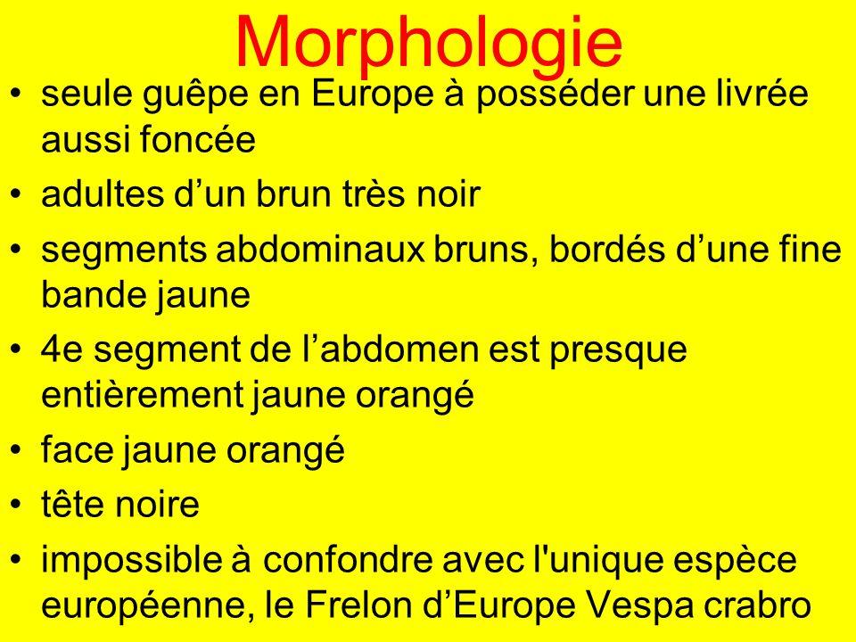 Morphologie seule guêpe en Europe à posséder une livrée aussi foncée