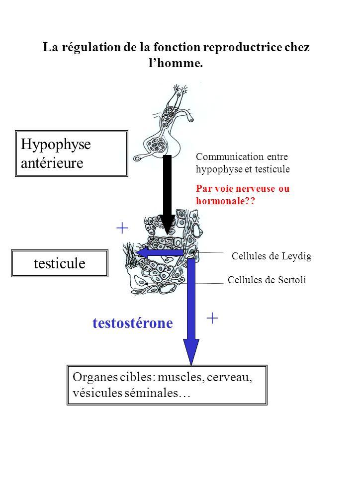 La régulation de la fonction reproductrice chez l'homme.