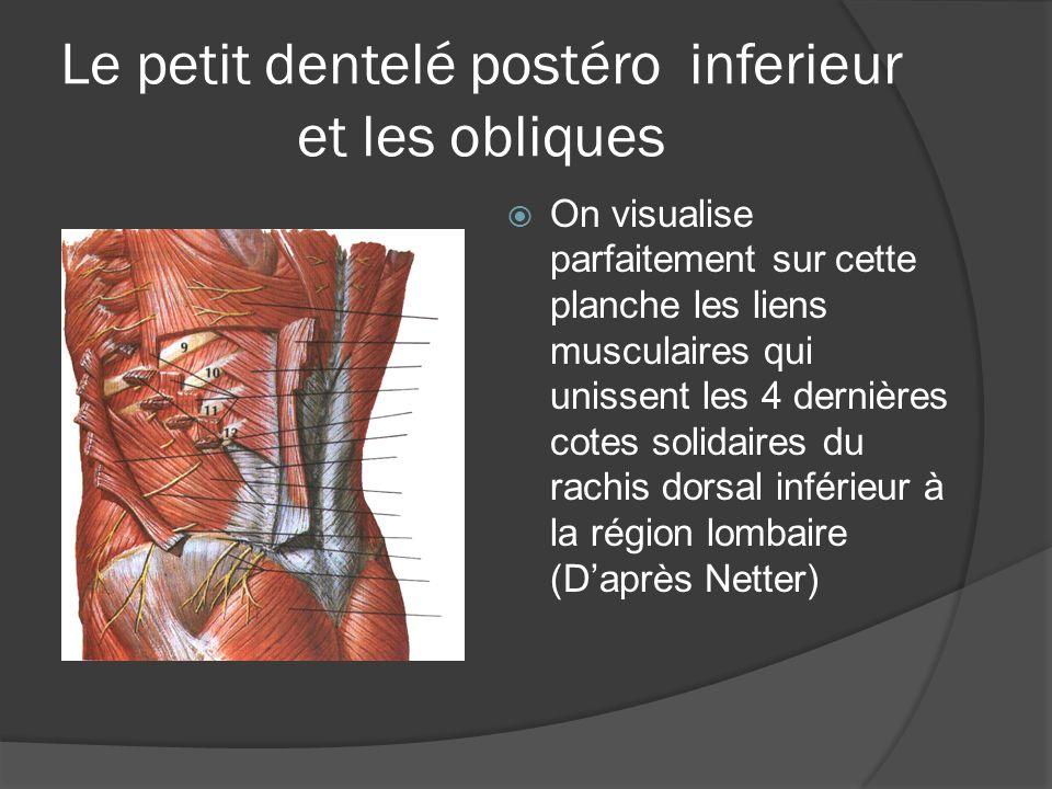 Le petit dentelé postéro inferieur et les obliques