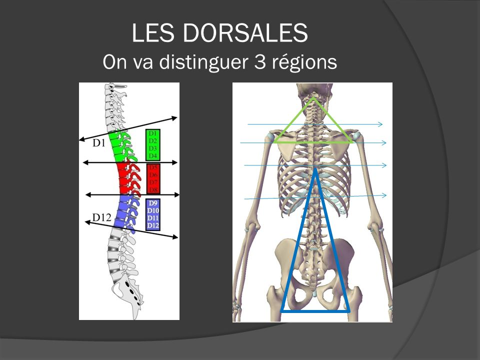 LES DORSALES On va distinguer 3 régions