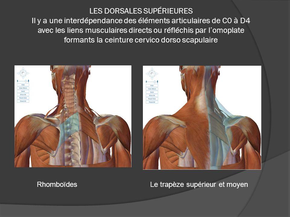 LES DORSALES SUPÉRIEURES Il y a une interdépendance des éléments articulaires de C0 à D4 avec les liens musculaires directs ou réfléchis par l'omoplate formants la ceinture cervico dorso scapulaire