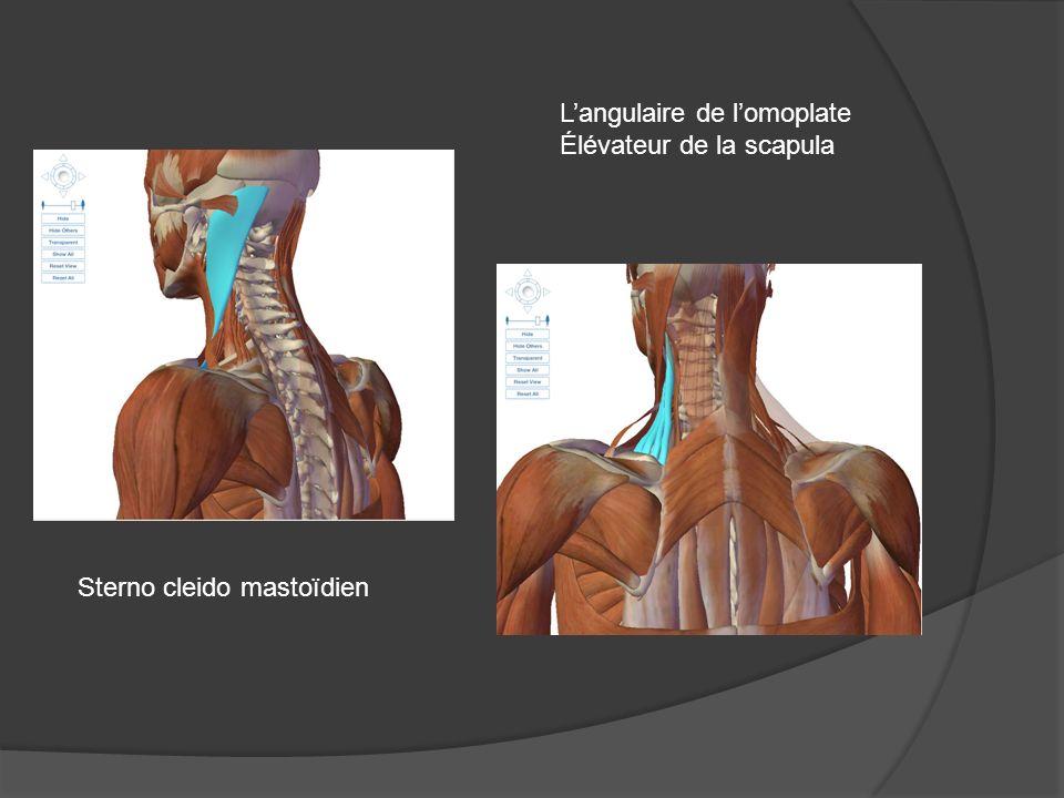 L'angulaire de l'omoplate Élévateur de la scapula