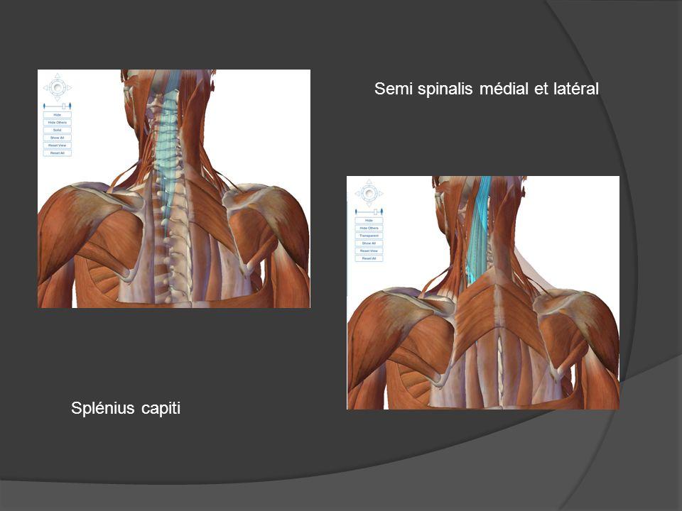 Semi spinalis médial et latéral