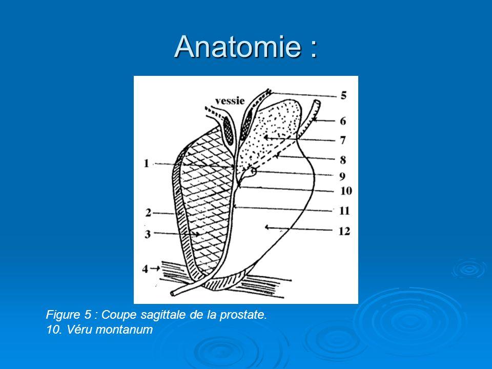Anatomie : Figure 5 : Coupe sagittale de la prostate.