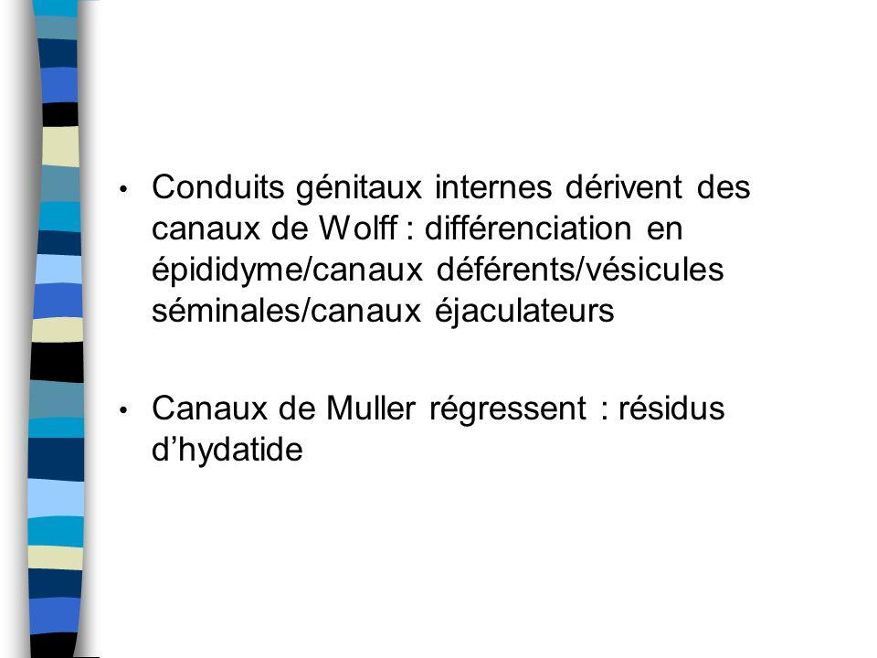 Conduits génitaux internes dérivent des canaux de Wolff : différenciation en épididyme/canaux déférents/vésicules séminales/canaux éjaculateurs