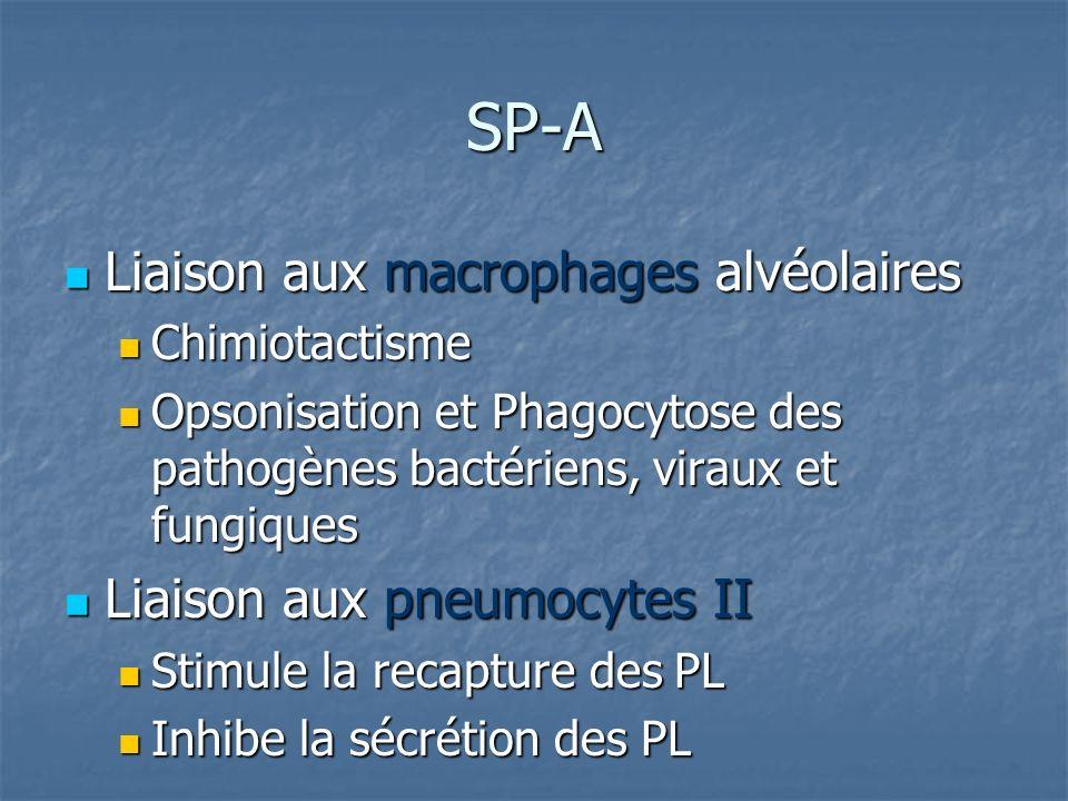 SP-A Liaison aux macrophages alvéolaires Liaison aux pneumocytes II