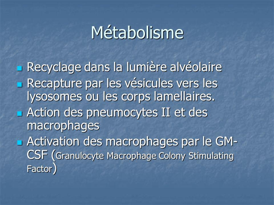 Métabolisme Recyclage dans la lumière alvéolaire
