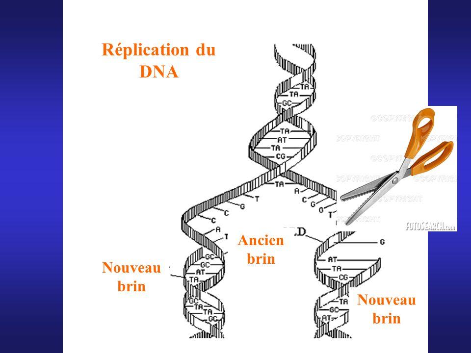 Réplication du DNA Ancien brin Nouveau brin Nouveau brin